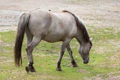 Heck horse Equus ferus caballus. Claimed to resemble the extinct tarpan Equus ferus ferus Stock Image