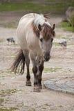 Heck horse Equus ferus caballus. Claimed to resemble the extinct tarpan Equus ferus ferus Royalty Free Stock Photos