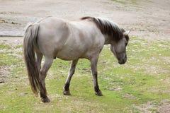 Heck horse Equus ferus caballus. Claimed to resemble the extinct tarpan Equus ferus ferus Stock Photos