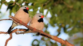 Heck's Grassfinch couple Royalty Free Stock Photography