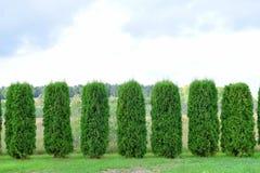 Hecke des immergrünen Thuja lizenzfreies stockbild