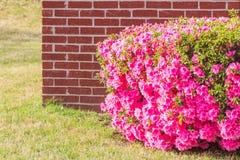 Hecke getrimmte rosa Azaleen in voller Blüte stockfotografie