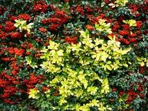Hecke mit roten Beeren und goldenen Blättern stockfotos