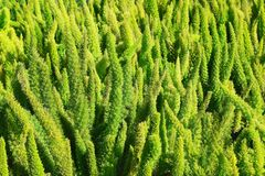 Hecke vom immergrünen Strauch stockbilder