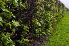 Hecke von Büschen stockbilder