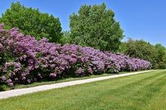Hecke von blühenden purpurroten Fliedern stockfoto