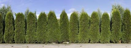 Hecke von den grünen Thujabäumen Lizenzfreies Stockfoto