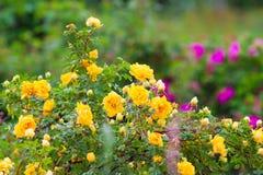 Hecke von gelben anhaftenden Rosen stockfotos