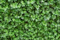 Hecke von ninebark oder von Physocarpus-opulifolius lizenzfreie stockfotografie