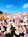 Hecke von rosa Blumen unter einem hellen blauen sonnigen Himmel stockbild
