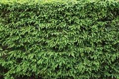 Hecke von Tannenbäumen stockfoto