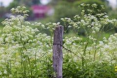 Hecke, weiße Blumen und Stacheldraht stockfotografie