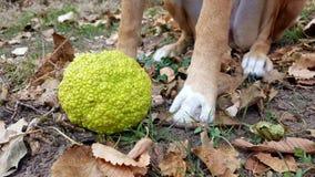 Heckenapfel und -hund Stockbild