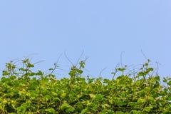 Heckengemüse und -himmel Stockfoto