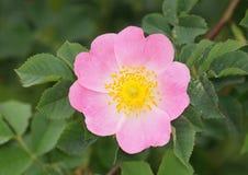 Heckenrose-Blume - Rosa-canina Lizenzfreies Stockbild