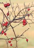 Heckenrose-Früchte Stockbild