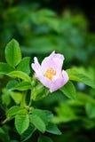 Heckenrose (Rosa canina) Lizenzfreie Stockbilder