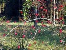 Heckenrose-Zweige mit glänzenden Früchten Stockbild