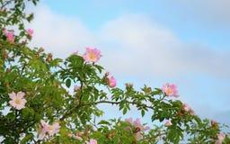 Heckenrosen, die wild wachsen Stockfotos