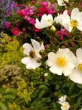 Heckenrosen oder wilde Rosen und eine Biene Lizenzfreie Stockfotos