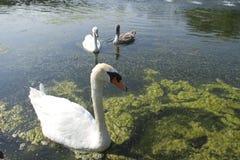 Hecksher公园天鹅在池塘 库存照片