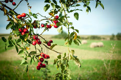 Hecserli. Red berries with countryside background Stock Photo