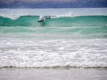 Hector delfinu surfing w fali zdjęcia royalty free