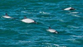 Hector delfiny Fotografia Stock