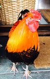 Hector Rooster. Hector the rooster Stock Photos