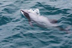 Hector-` s Delphin Cephalorhynchus-hectori, das Welt-` s-kleinster und seltenster Marinedelphin, Neuseeland stockbild