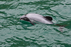 Hector's Dolphin. In New Zealand waters royalty free stock images