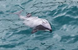 Hector`s Dolphin Cephalorhynchus hectori, the world`s smallest and rarest marine dolphin, New Zealand stock image