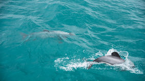 Hector's dolphins. Hector's dolphin (Cephalorhynchus hectori) is the best-known of the four dolphins in the genus Cephalorhynchus and is found only in New Stock Images