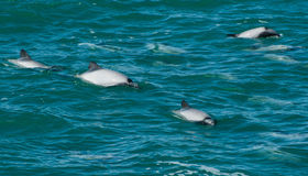 Hector's dolphins Stock Photography