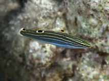 Hector`s goby Royalty Free Stock Images