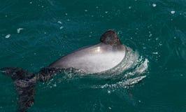 Hectors delfinu, zagrażający delfin, Akaroa, Nowa Zelandia obraz royalty free
