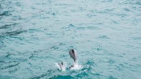 Hectorsdolfijnen Stock Afbeeldingen