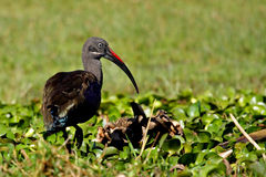 Hedada ibis, Lake Naivasha, Kenya Stock Images
