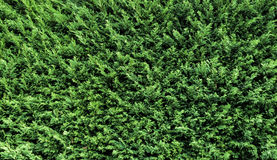 Hedage Fill. Hedage texture of green. Great for a background Stock Photo