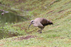 Hededa ibis (Bostrychia hagedash) with injured foot on grass nex Stock Image