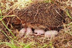 Hedegehog mother and her newborns Royalty Free Stock Photos