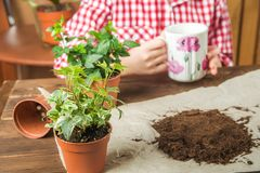 Heder pot with ivy. The girl drinks tea and transplants potted plants at home in the background. Earth, seedling, Spring, hands, t stock photos