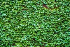 Hedera плюща Стена покрытая с листвой естественное предпосылки зеленое Стоковая Фотография RF