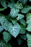 Hedera Stock Image
