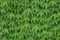 Hedera Royalty Free Stock Photography