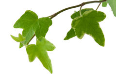 Hedera Royalty Free Stock Image