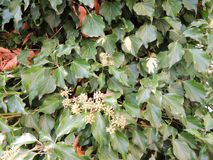 Hedera colchica `Arborescens` Royalty Free Stock Image