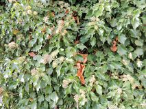 Hedera colchica `Arborescens` Stock Images