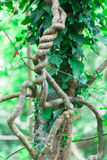 Hedera colchica Royalty Free Stock Image
