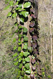 Hedera colchica Stock Photos